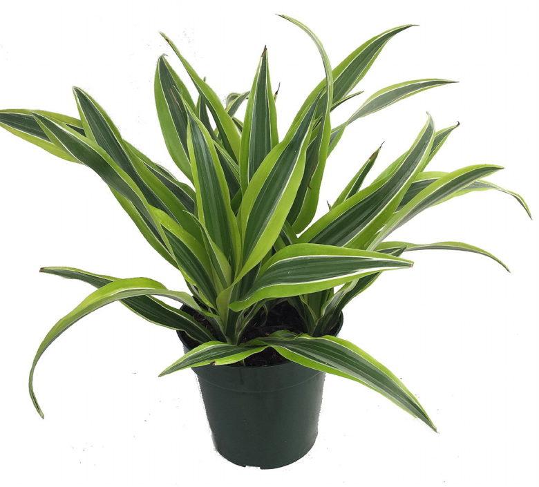 Madagascar dragon plant